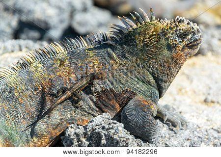 Lizard On An Iguana In Galapagos