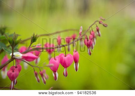 Close-up of bleeding heart flower [Dicentra spectabilis]