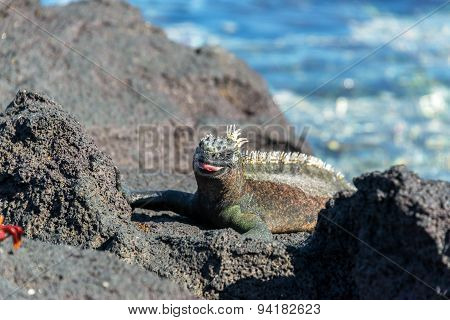 Marine Iguana With Tongue Out