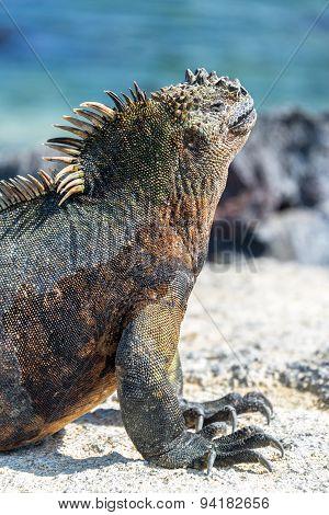Marine Iguana Vertical In Galapagos