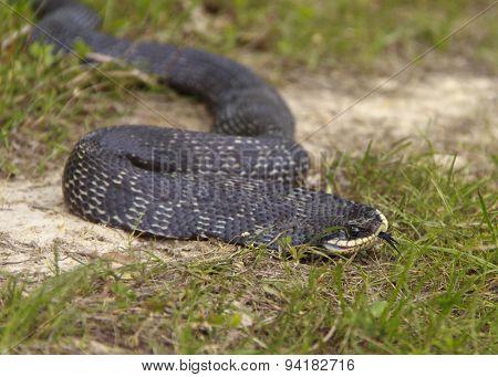 Hognose Snake Close Up