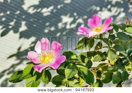 Flowering Branch Of Wild Rose In June