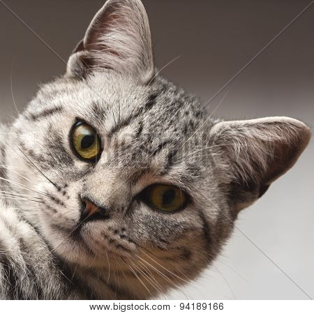 Silver Tabby Cat On Grey Background
