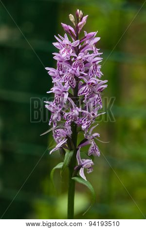 Inflorescence Dactylorhiza Maculata, Heath Spotted Orchid Macro