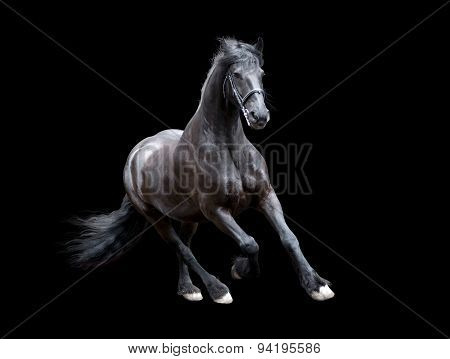 Firesian Horse Running Isolated On Black Background