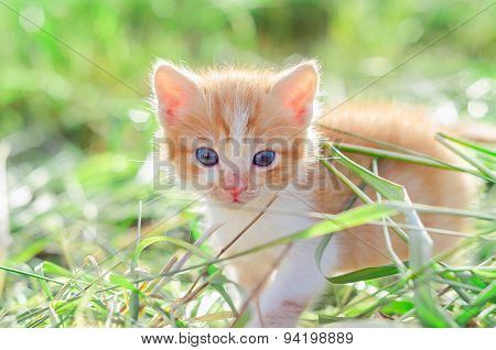Red Kitten On Green Grass