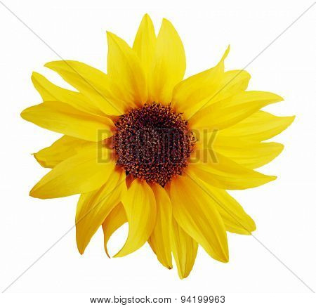 sunflower isolated on white background, vector
