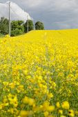 stock photo of rape  - Yellow oilseed rape field under the blue sky with sun - JPG