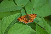 picture of butterfly-bush  - Perlamutrovka butterfly on leaves of bushes in the Forest - JPG