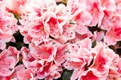picture of azalea  - Azalea plant close up view from the front - JPG