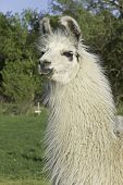 picture of perception  - A perceptive llama is held by his owner as guard of sheep and goats against larger predators - JPG