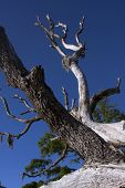 stock photo of jekyll  - Dead branches of old oak trees reach toward the blue skies over Jekyll Island - JPG
