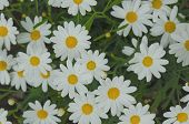 pic of daisy flower  - Daisy flower background - JPG