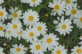 stock photo of angiosperms  - Daisy flower background - JPG