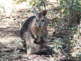 stock photo of tammar wallaby  - tammar wallaby with a joey in the pouch - JPG