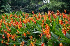 stock photo of heliconia  - Heliconia flowers in the garden - JPG