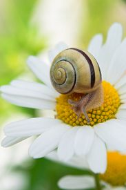 stock photo of garden snail  - Garden snail sits on a camomile in a summer garden  - JPG