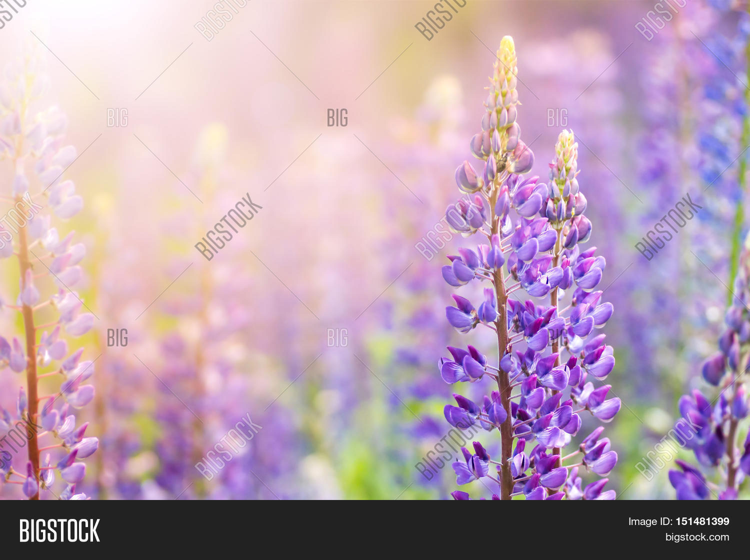 Plants for spring and summer - Blooming Lupine Flowers A Field Of Lupines Sunlight Shines On Plants Violet Spring