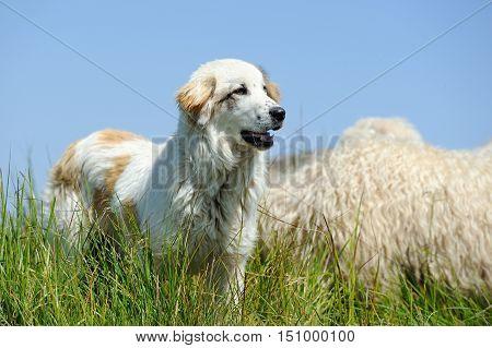 Sheepdog Guarding A Flock Of Sheep