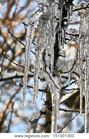 the frozen icicles on the tree branches