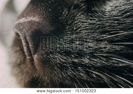 Black cat's nose and whiskers closeup selective focus
