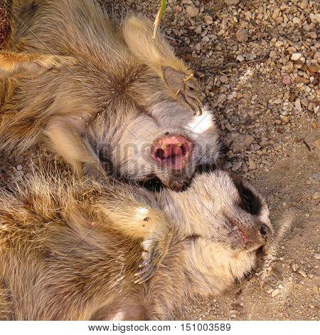 Hear me roar! Little meerkat playing on the ground.