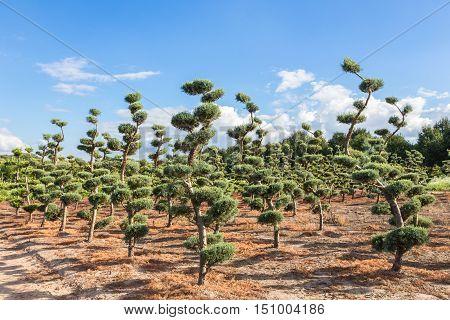 Beautifully pruned conifer trees in tree nursery