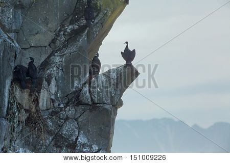 Pelagic cormorant nesting on the rocks in the Pacific Ocean.
