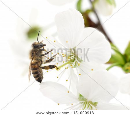Nature background. Honeybee and white cherry flowers.