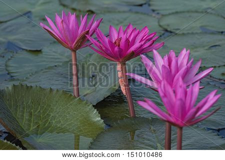 beautiful waterlily or lotus flower in the river