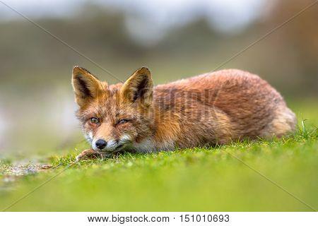 Vicious Looking European Red Fox