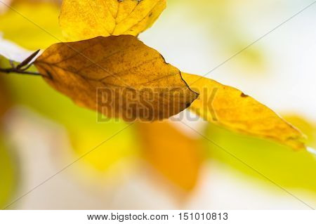 Background Of Colorful Autumn Leaves Of Beech