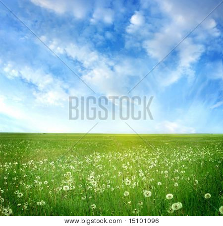 field of dandelions