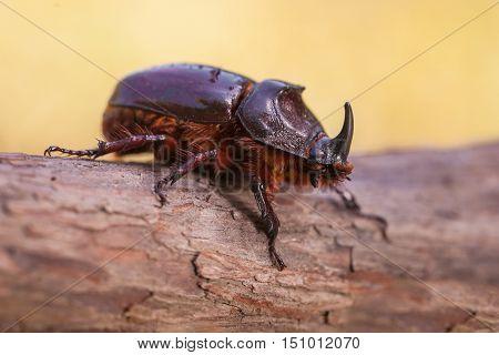Rhinoceros Beetle Macro Image