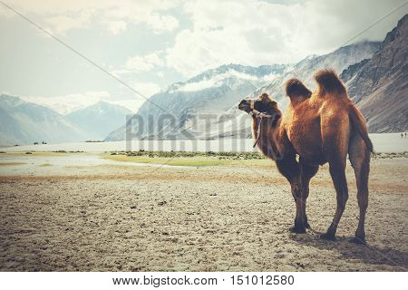 Double Hump Camel Setting Off On Its Journey In The Desert In Nubra Valley, Ladakh, India (vintage T