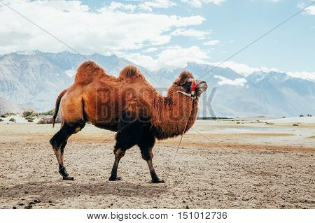 Double Hump Camel Walking In The Desert In Nubra Valley, Ladakh, India