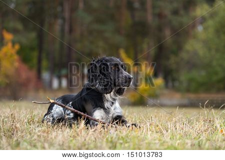 Spaniel lies with a stick in his paws. Dog playing in autumn park. The photo was taken in the morning near the forest.
