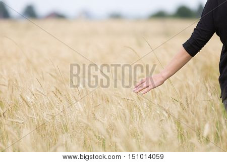 Back view on young happy woman walking on the golden wheat field on a sunny summer day. Beautiful girl outdoors raising hands in sunlight rays and running on the meadow sun light.