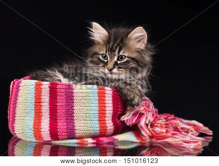Cute fluffy siberian kitten over black background