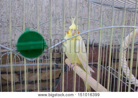 yellow bird Cockatiel cockatoo family a cage