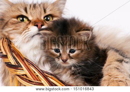 Lovely siberian cat with cute little kitten over white background. Focus on the kitten