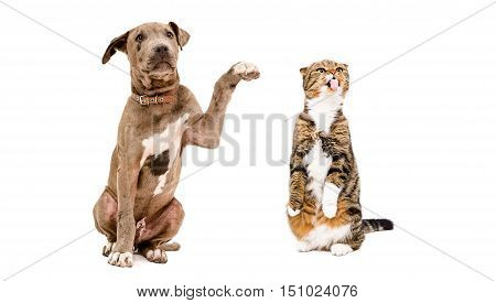 Playful puppy Pitbull and a funny cat Scottish Fold isolated on white background