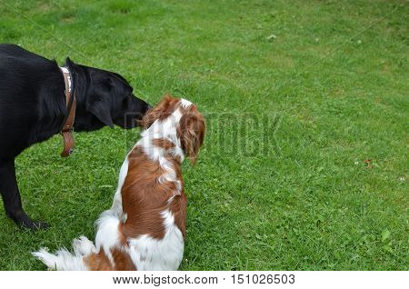 Big black dog kiss his smaller friend a dog Cavalier King Charles Spaniel