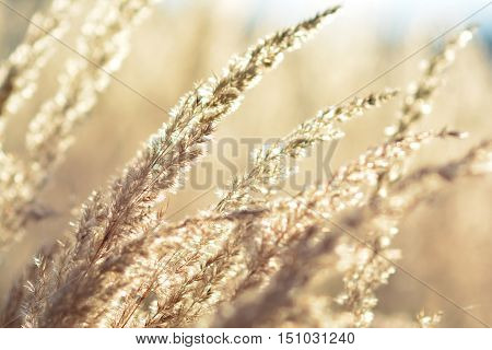 Mountain meadow in golden colors full frame of tall dry grass in sunset light close up view soft focus