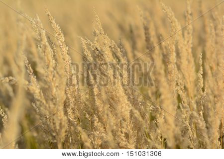 Mountain meadow in golden colors full frame of tall dry grass in sunset light