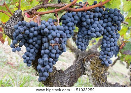 Red Grapes On Vine. Vine Grape Fruit Plants Outdoors
