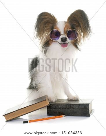 papillon dog in school in front of white background