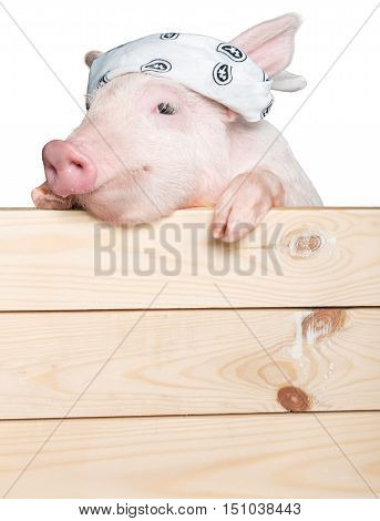 Pig with Bandana on It's Head Hanging on a Fence