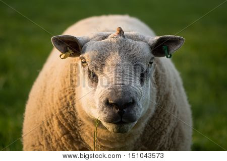 Ram with growth emerging from centre of skull. Sheep with tumour on head, with appearance of horn, emerging through skin