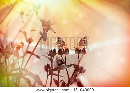 White butterflies on dry yellow flowers in meadow lit by sun rays